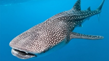 Whale Shark Snorkeling Tour